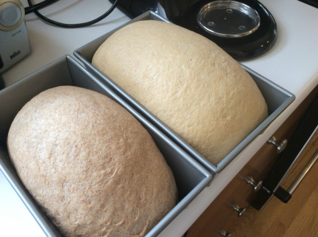 White whole wheat rising in pan