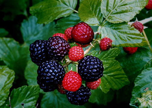 Black Raspberry Bushes